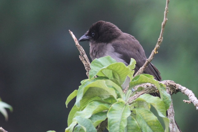 Brown jay, 20 March 2014