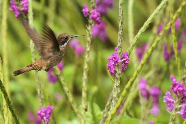 Brown violet-ear flying, 20 March 2014