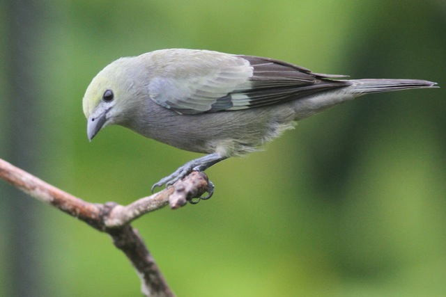 Palm tanager, 20 March 2014