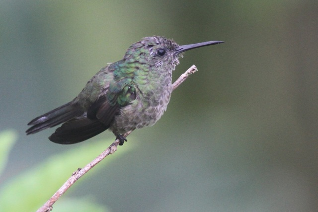 Scaly-breasted hummingbird, 20 March 2014